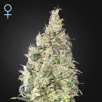 Great White Shark CBD (Greenhouse Seeds) Femminizzata