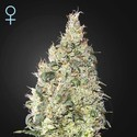 Great White Shark CBD (Greenhouse Seeds) feminisiert
