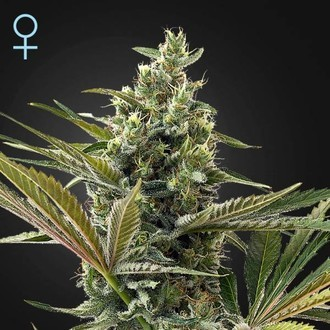 Super Lemon Haze Auto CBD (Greenhouse Seeds) feminisiert