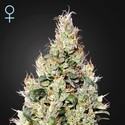 Exodus Cheese Auto CBD (Greenhouse Seeds) feminized