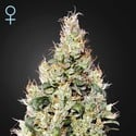 Exodus Cheese Auto CBD (Greenhouse Seeds) Femminizzata