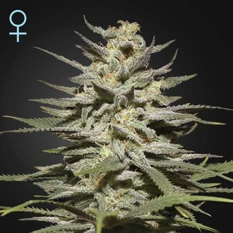 Super Lemon Haze CBD (Greenhouse Seeds) feminized
