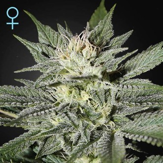 King's Kush CBD (Greenhouse Seeds) feminized