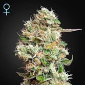 King's Kush Autoflowering CBD (Greenhouse Seeds) feminized