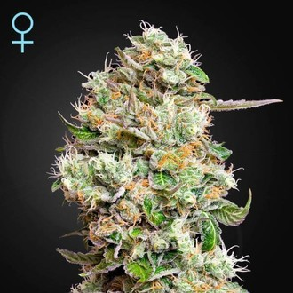 King's Kush Autofiorente CBD (Greenhouse Seeds) Femminizzata