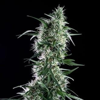 Santa Bilbo (Genehtik Seeds) femminizzata