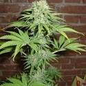 Blue Haze (Homegrown Fantaseeds) feminisiert