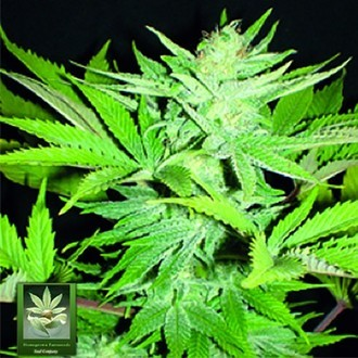 Homegrown Lowryder (Homegrown Fantaseeds) femminizzata