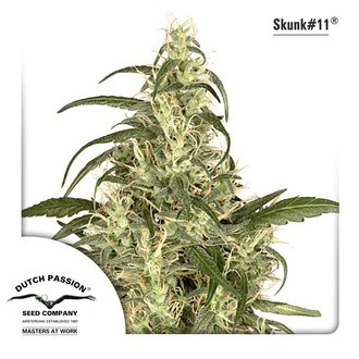Skunk 11 (Dutch Passion) feminized