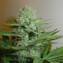 Blue Pearl (Homegrown Fantaseeds) feminisiert