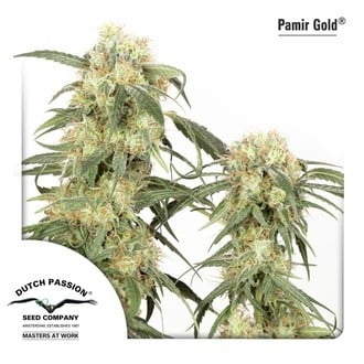 Pamir Gold (Dutch Passion) feminisiert