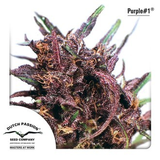 Purple 1 (Dutch Passion) feminized
