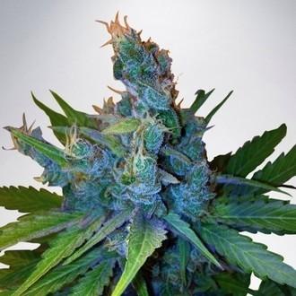 Hay-Z (Ministry of Cannabis) femminizzata
