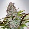 Auto Cheese NL (Ministry of Cannabis) feminisiert
