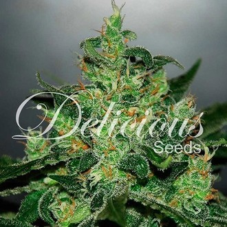 Critical Jack Herer Auto (Delicious Seeds) feminisiert