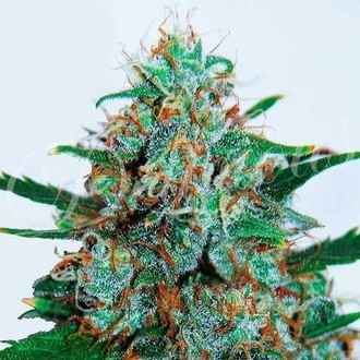 Critical Neville Haze Auto (Delicious Seeds) feminized