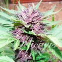 Auto Dark Purple (Delicious Seeds) feminisiert