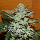 Desconocida Kush (Delicious Seeds) feminisiert