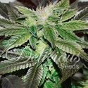 Sugar Candy (Delicious Seeds) feminisiert