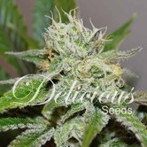 Original Juan Herer (Delicious Seeds) Femminizzata