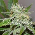 Original Juan Herer (Delicious Seeds) feminisiert