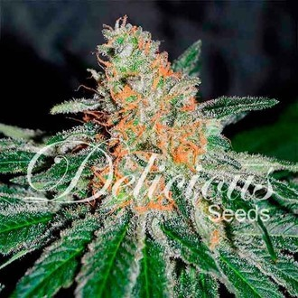 CBD Jam (Delicious Seeds) feminized