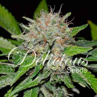 Deep Mandarine (Delicious Seeds) feminized