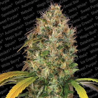 Dutch Kush (Paradise Seeds) feminized