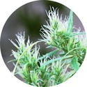 CBD Haze Auto (Top Tao Seeds) regolare
