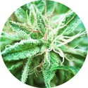 Sativa Samadhi (Top Tao Seeds) regular