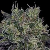 Black Widow (Positronics) feminized