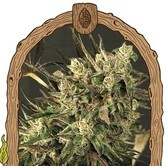 Exotic Colours (Exotic Seed) feminized