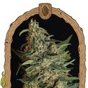 Green Gummy (Exotic Seed) feminized
