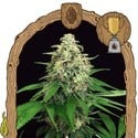 Mango Cream (Exotic Seed) feminized