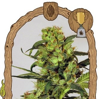 Spicy Bitch (Exotic Seed) feminized