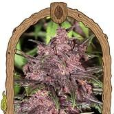 Black Haze (Exotic Seed) feminized