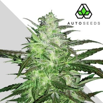 Auto Chemdog (Auto Seeds) Feminisiert