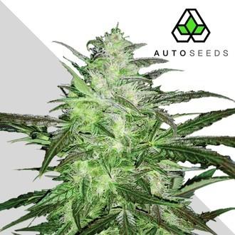 Auto Chemdog (Auto Seeds) Femminizzati