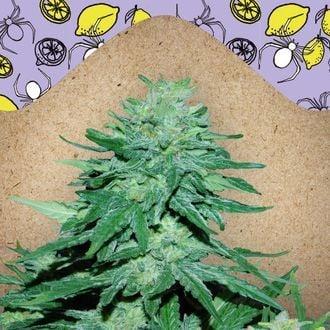 Auto White Widow x Big Bud (Female Seeds) feminized