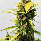 Critical Express (Positronics) feminized