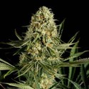 Critical Cheese (Dinafem) Feminized