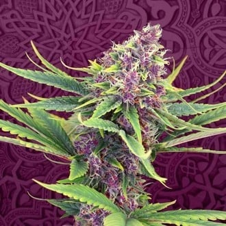 Purple Kush (Kannabia) feminized