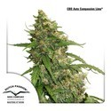 CBD Auto Compassion Lime (Dutch Passion) Femminizzata
