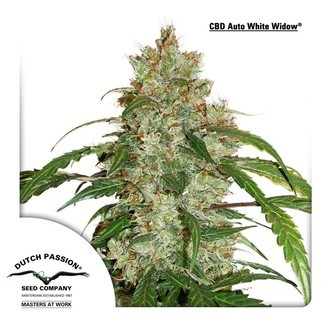 CBD Auto White Widow (Dutch Passion) feminized
