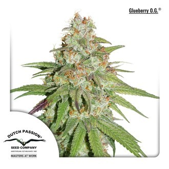 Glueberry OG (Dutch Passion) feminisiert