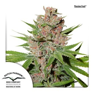 Passion Fruit (Dutch Passion) feminized