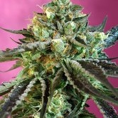 Sweet Nurse Auto CBD (Sweet Seeds) feminized