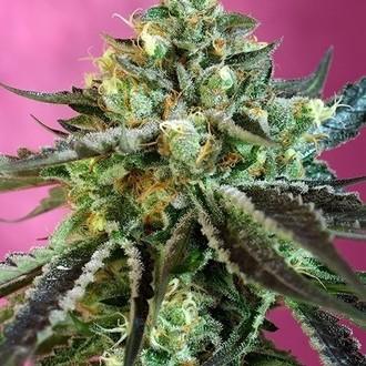 Sweet Nurse Auto CBD (Sweet Seeds) feminized