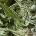 Auto Alpujarreña (Pyramid Seeds) Feminisiert