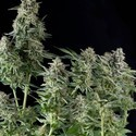 Northern Lights (Pyramid Seeds) feminisiert